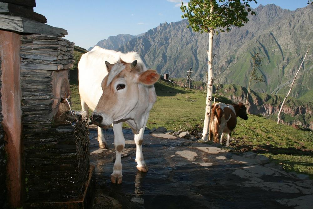 гірська корова